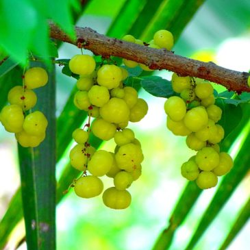 Amla for Crushing Workout Recovery